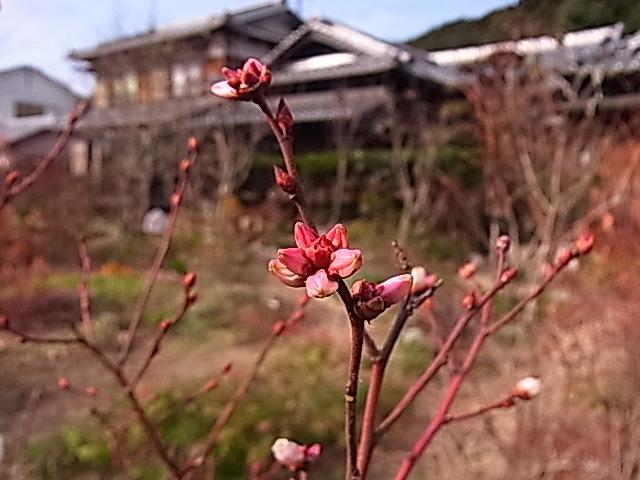 年の瀬のブルーベリーの花_e0181373_2054837.jpg