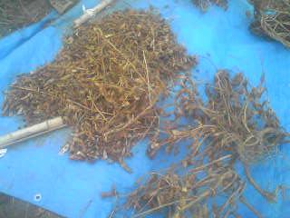 黒豆、脱穀。_a0138985_0361629.jpg