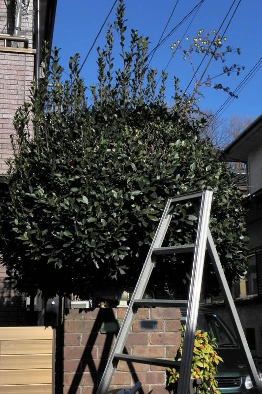 ベニマシコ♀/庭木の刈り込み_b0024798_64115100.jpg