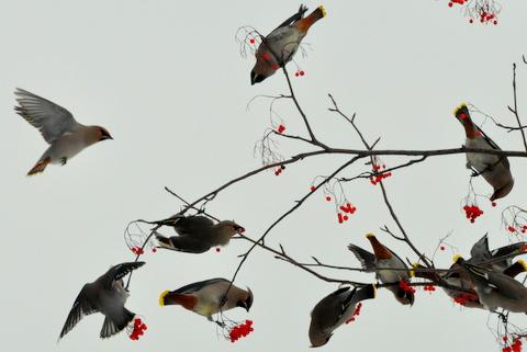 黄連雀数百に数羽の緋連雀。_b0165760_23151095.jpg