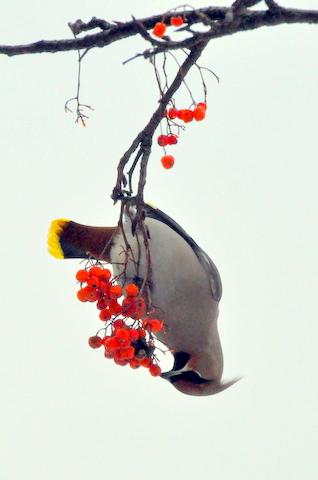 黄連雀数百に数羽の緋連雀。_b0165760_23163859.jpg