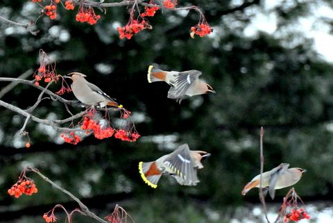 黄連雀数百に数羽の緋連雀。_b0165760_2351059.jpg