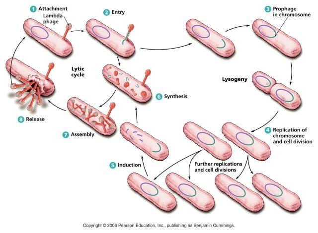 ウイルス遺伝子をゲノムに取り込み進化するバクテリア_c0025115_19162237.jpg