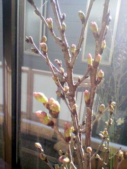 寒桜、その後_d0133128_1443187.jpg