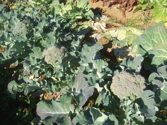 今年最後の農園.....正月野菜を収穫!_b0137932_10271514.jpg