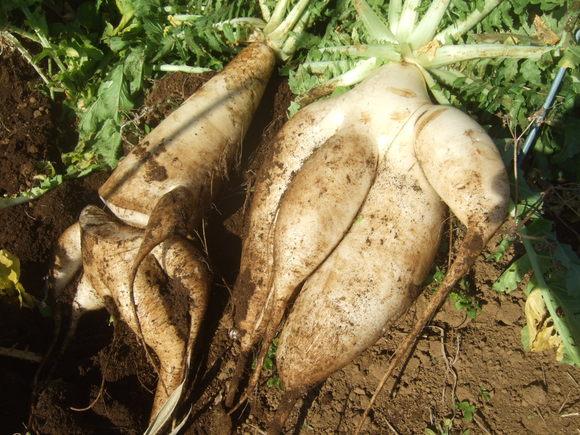 今年最後の農園.....正月野菜を収穫!_b0137932_1027317.jpg