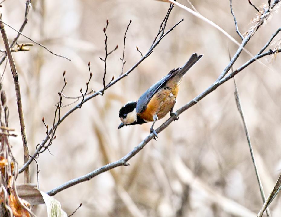 12月の長田谷津(千葉県市川市)~可憐な小鳥たち~_c0223825_2338167.jpg