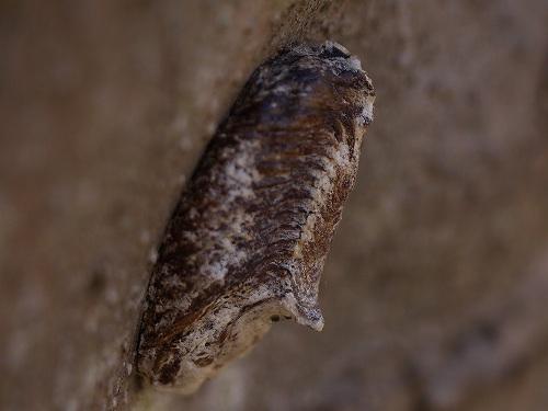 コカマキリ(小蟷螂)の卵嚢 ...