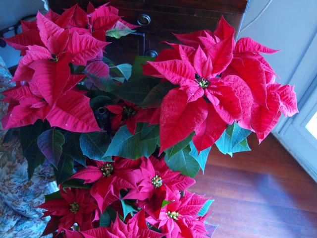 Stella di Nataleは猫に有害植物!??_c0179785_6214614.jpg