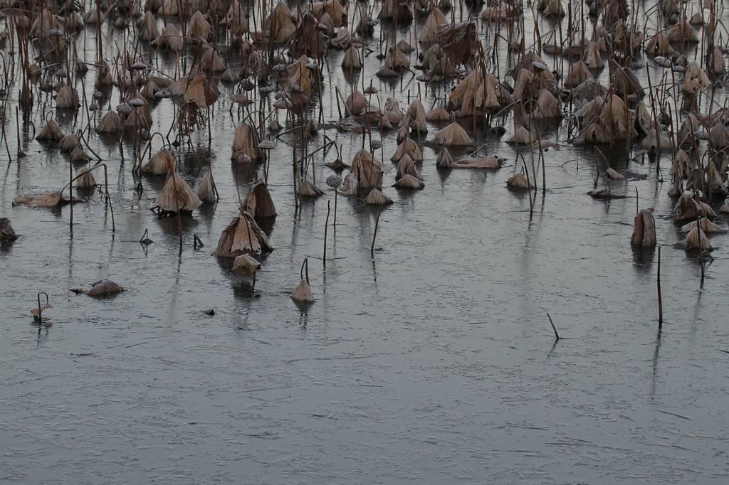 番外 アメリカコハクチョウが・・・/公園の池が氷結_b0024798_7411122.jpg