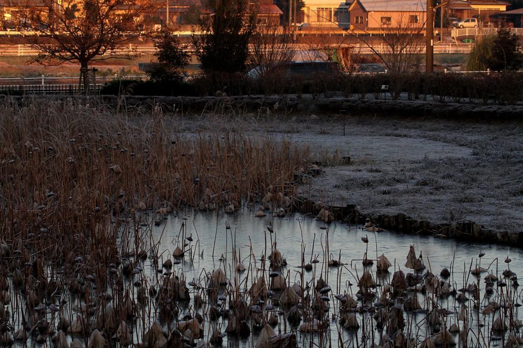番外 アメリカコハクチョウが・・・/公園の池が氷結_b0024798_74122.jpg