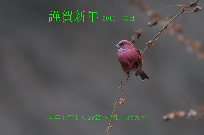 オオマシコ_f0053272_23491100.jpg