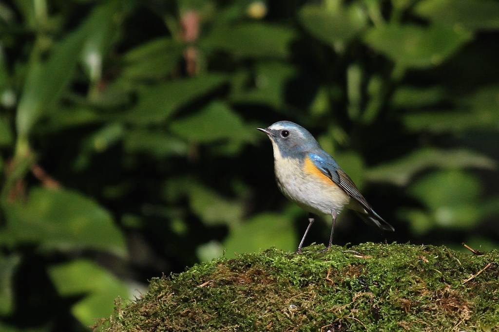 幸福の青い鳥・ルリビタキ/正月の東天_b0024798_941138.jpg