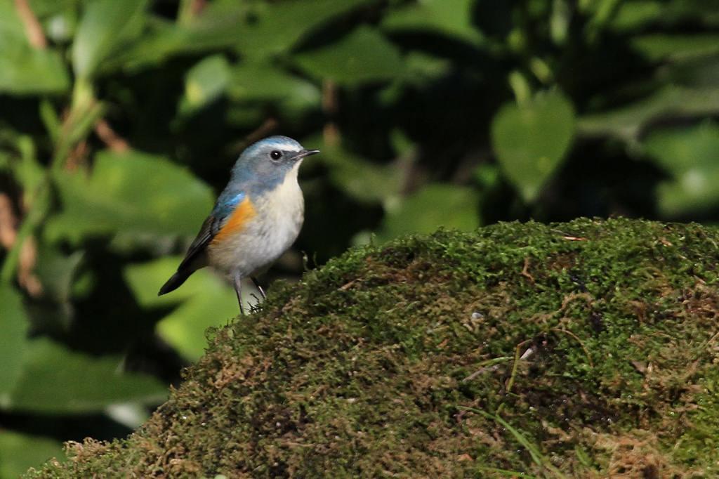 幸福の青い鳥・ルリビタキ/正月の東天_b0024798_942984.jpg