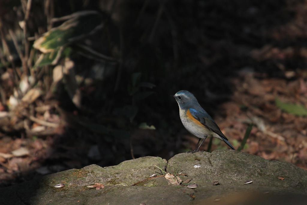 幸福の青い鳥・ルリビタキ/正月の東天_b0024798_94418.jpg