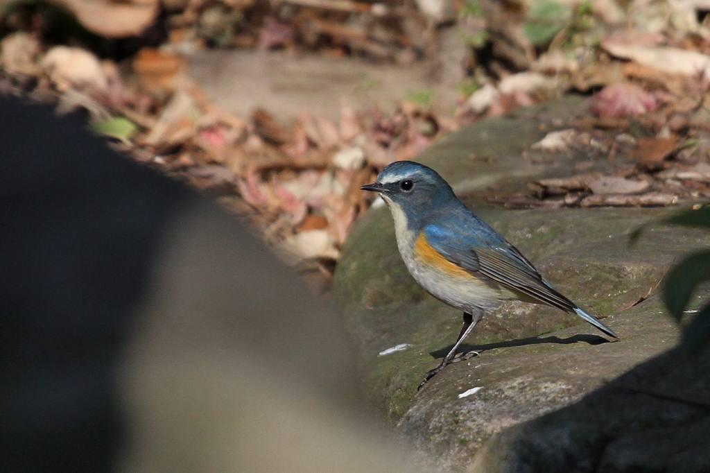 幸福の青い鳥・ルリビタキ/正月の東天_b0024798_94565.jpg
