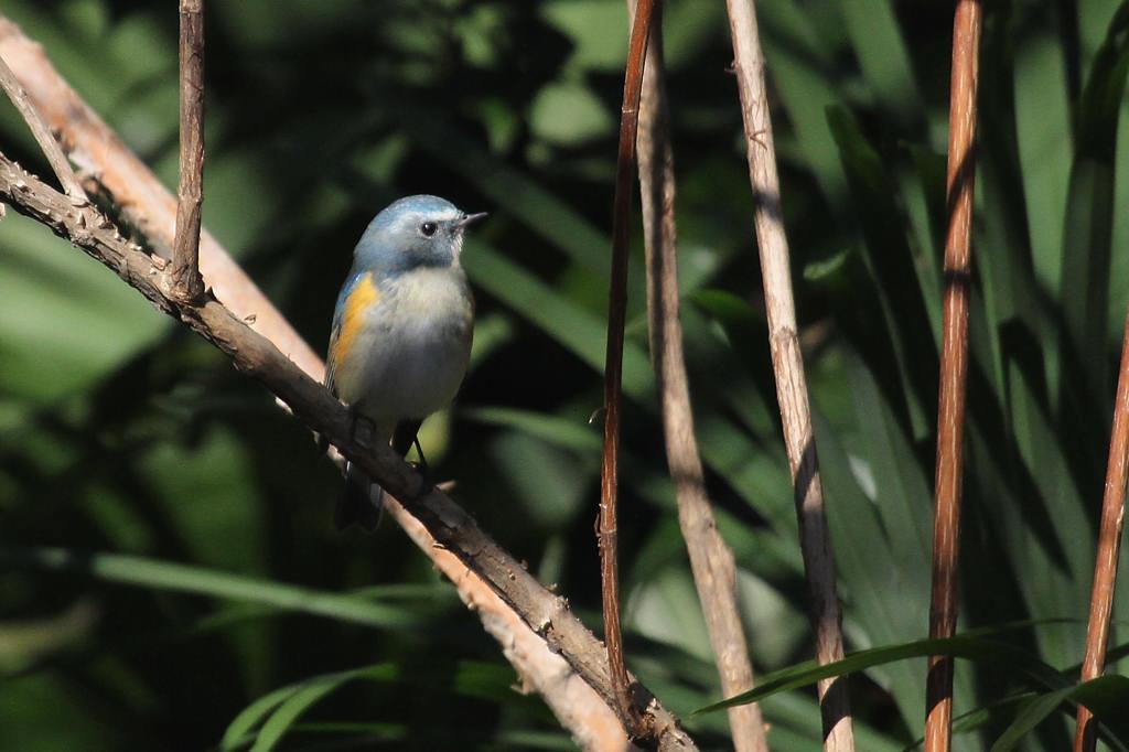 幸福の青い鳥・ルリビタキ/正月の東天_b0024798_951196.jpg