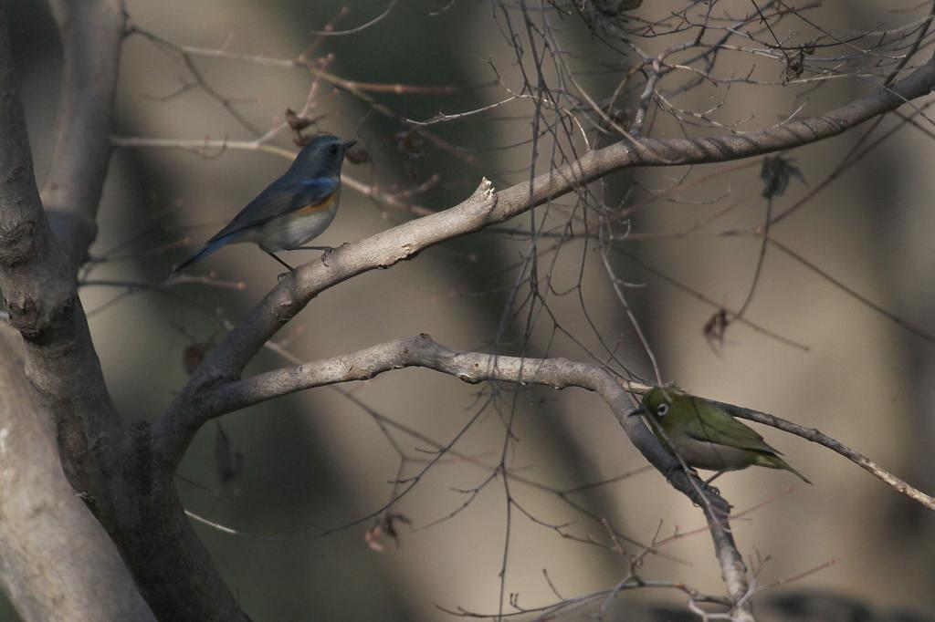 幸福の青い鳥・ルリビタキ/正月の東天_b0024798_953373.jpg