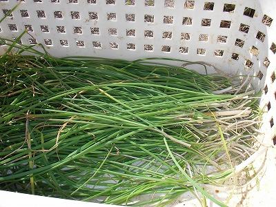宮崎自然農園・12月19日。拡げた田んぼの草刈。_b0181417_11391132.jpg