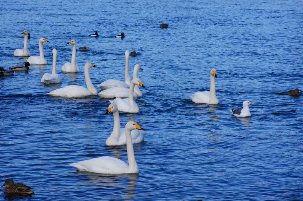 白鳥_f0138096_12325624.jpg