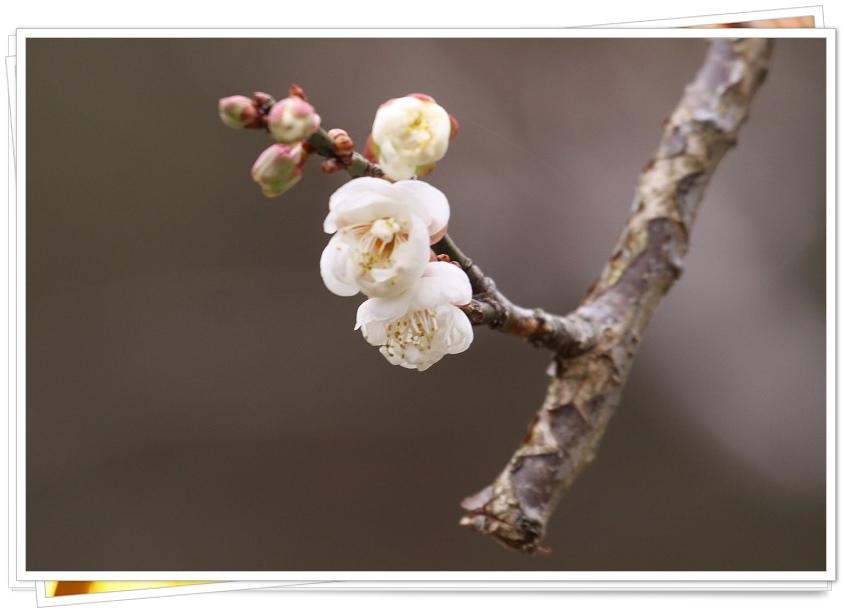 もう梅の花_a0057905_2332267.jpg