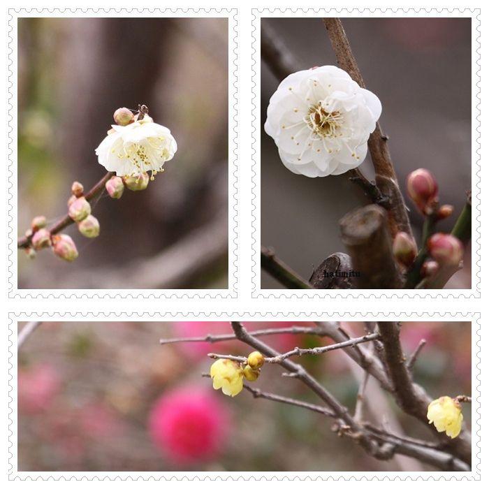 もう梅の花_a0057905_2351593.jpg