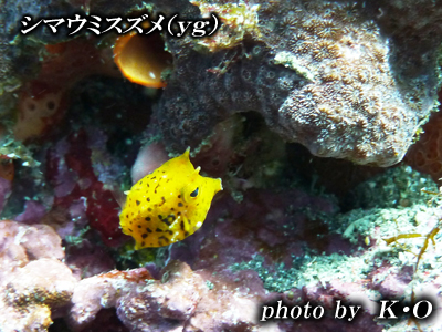 Divehouse Kanaloa  八丈島 ダイビングログ_b0189640_2159966.jpg