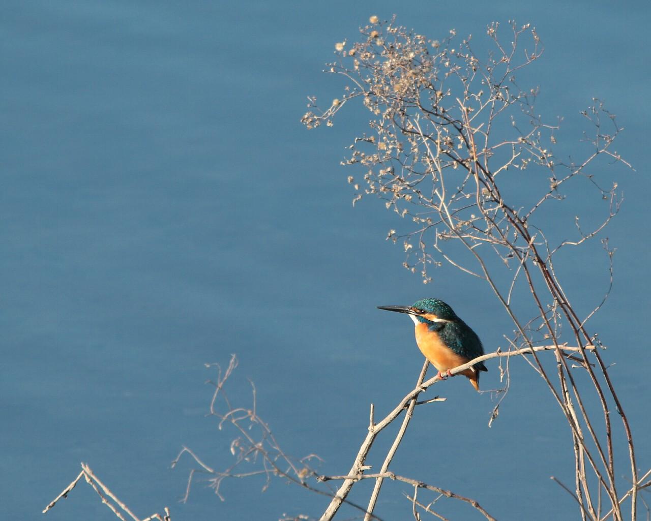関東での初鳥はカワセミ_f0105570_1905754.jpg
