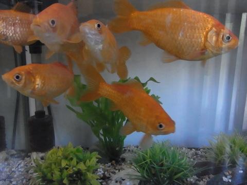6匹の元気な金魚たち_b0206085_13214582.jpg