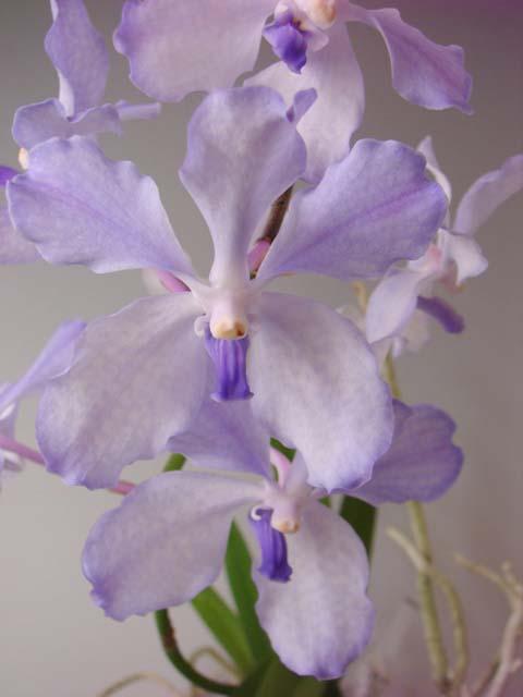 V.coerulea Himalayan Blue (バンダセルレア・ヒマラヤンブルー)_d0007501_2249399.jpg