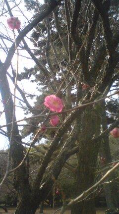 梅は咲いたか~~えっ!!もう(^_^;)_f0028791_17325816.jpg