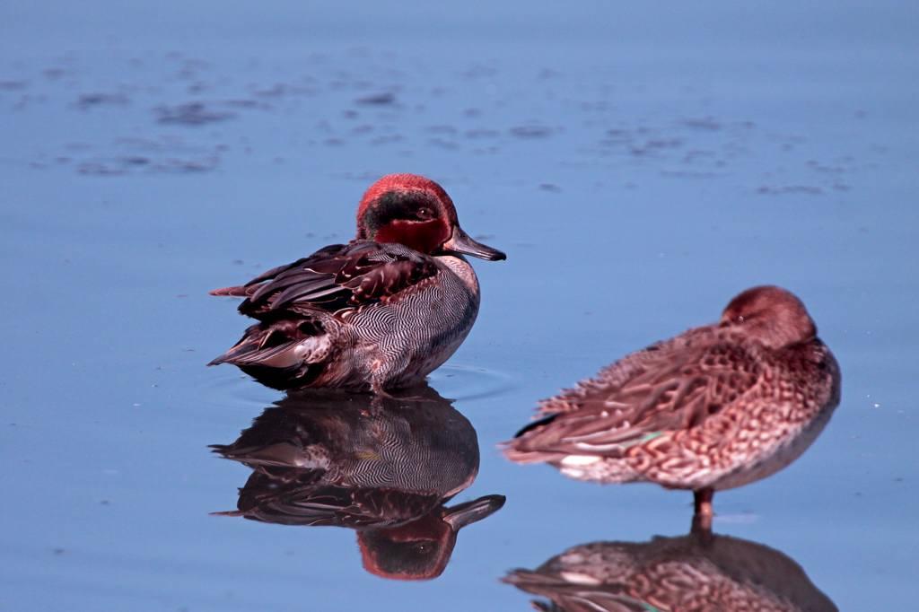天体撮影用カメラで鳥を・・・/我が家の庭は冬と春が_b0024798_6372525.jpg