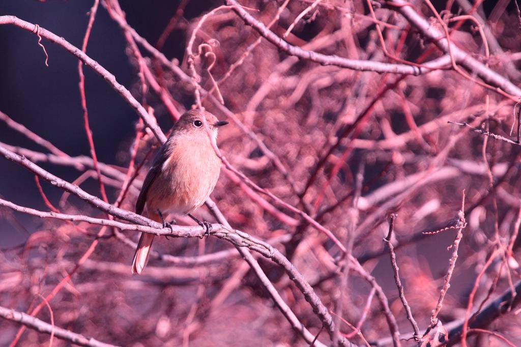 天体撮影用カメラで鳥を・・・/我が家の庭は冬と春が_b0024798_6373812.jpg