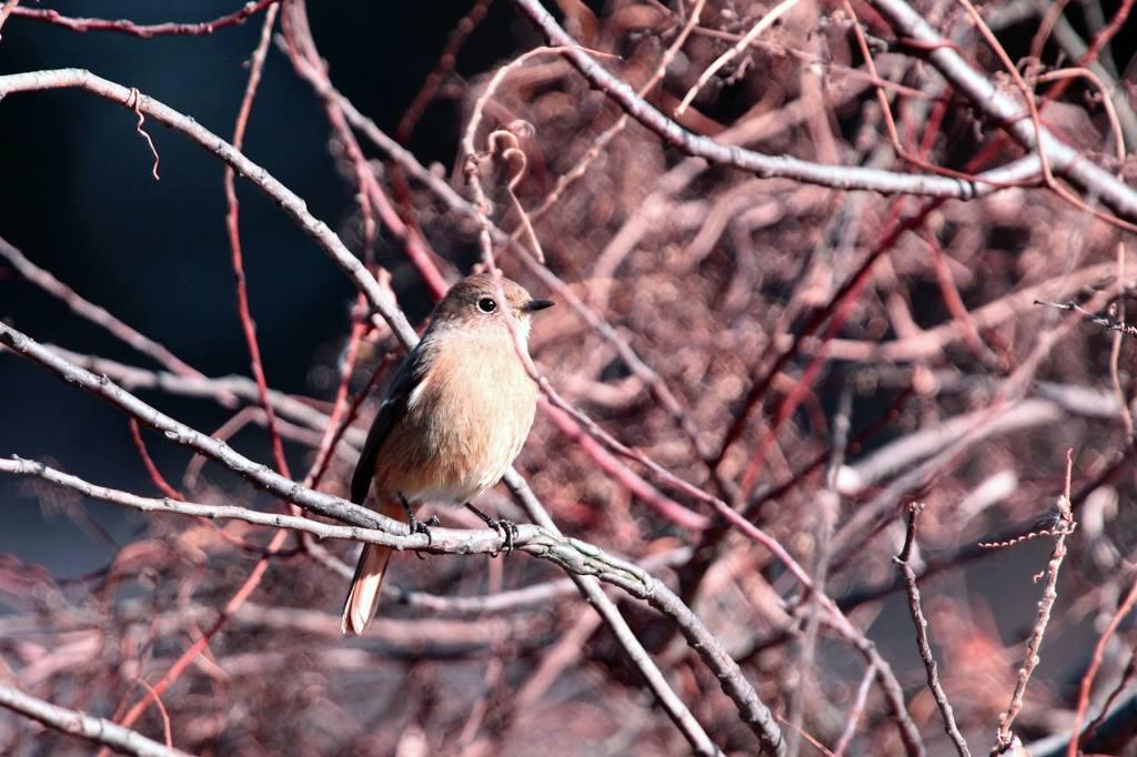 天体撮影用カメラで鳥を・・・/我が家の庭は冬と春が_b0024798_6375696.jpg