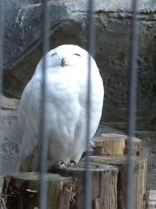 上野動物園のシロフクロウ_e0089232_11112755.jpg