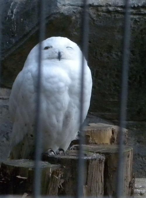 上野動物園のシロフクロウ_e0089232_11113339.jpg