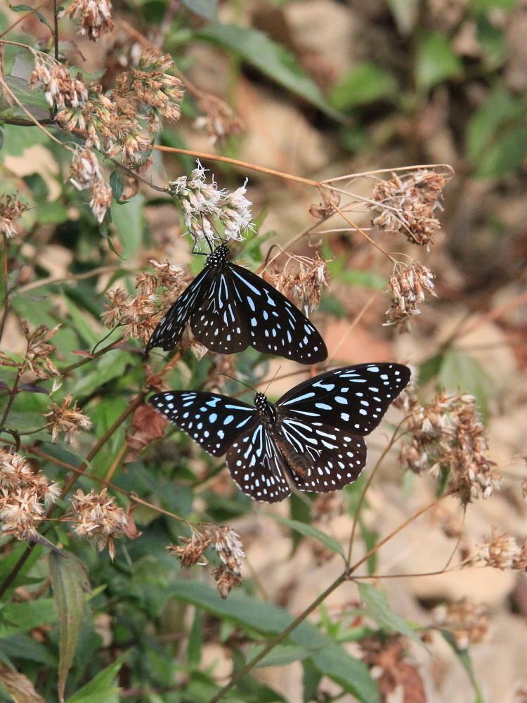 冬の台湾探蝶その4 マダラチョウ亜科(3) コモンマダラも渋いブルーです。  茂林2010.12.30_a0146869_9342851.jpg