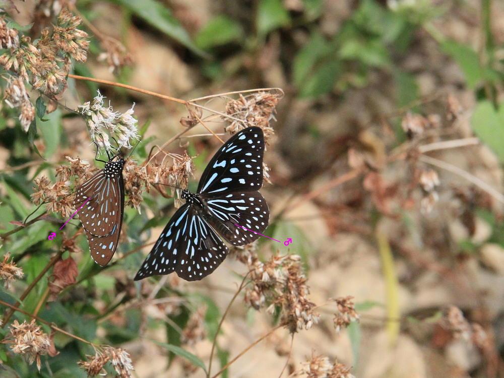 冬の台湾探蝶その4 マダラチョウ亜科(3) コモンマダラも渋いブルーです。  茂林2010.12.30_a0146869_9344546.jpg