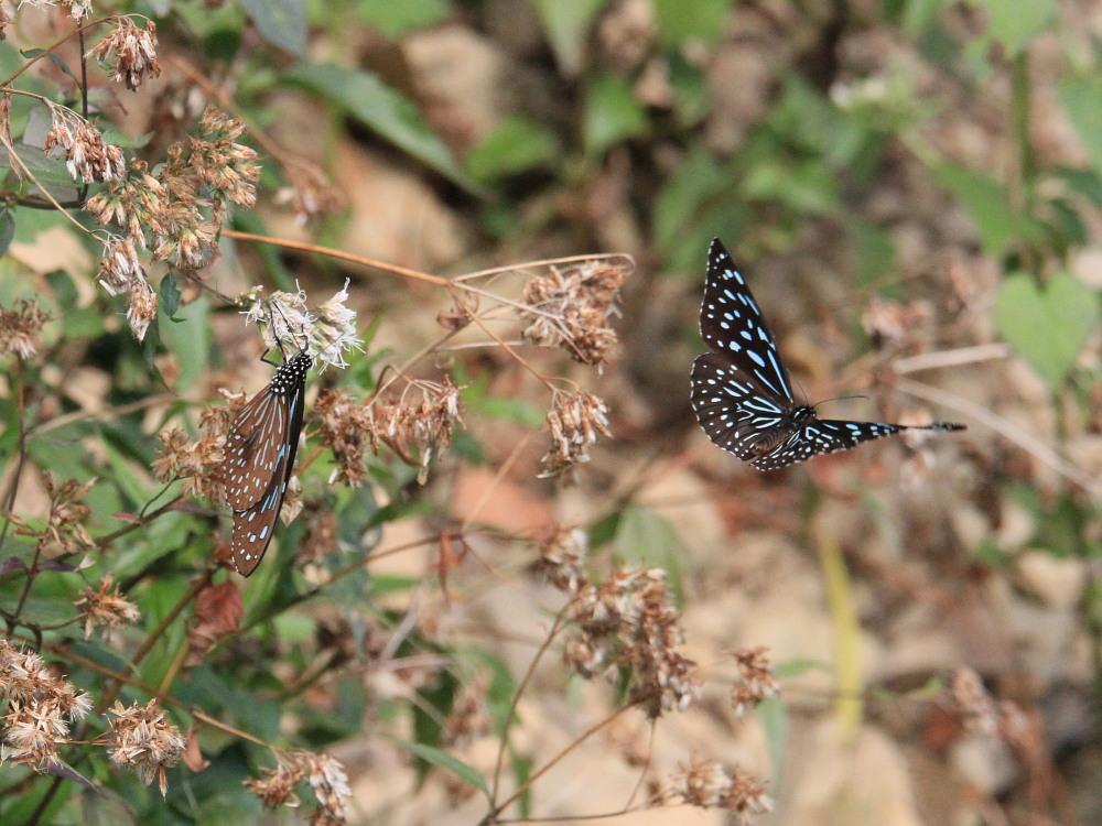冬の台湾探蝶その4 マダラチョウ亜科(3) コモンマダラも渋いブルーです。  茂林2010.12.30_a0146869_9345785.jpg