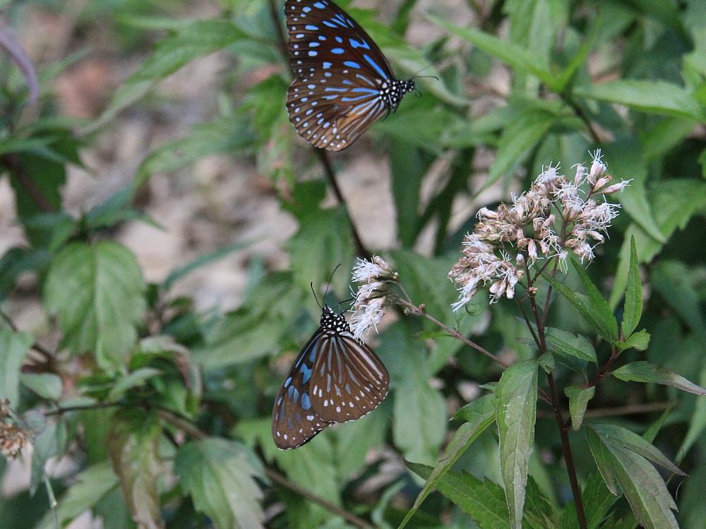 冬の台湾探蝶その4 マダラチョウ亜科(3) コモンマダラも渋いブルーです。  茂林2010.12.30_a0146869_9353858.jpg
