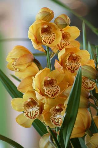 新成人にランの花を。野鳥ツグミ_f0030085_20322888.jpg