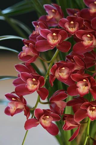 新成人にランの花を。野鳥ツグミ_f0030085_20324670.jpg