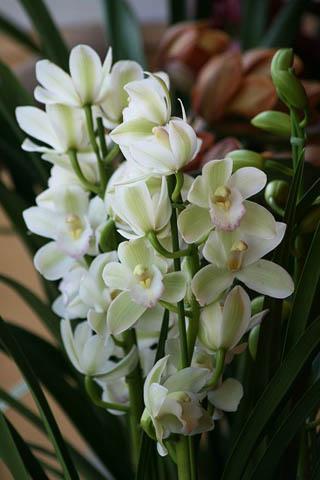 新成人にランの花を。野鳥ツグミ_f0030085_2033053.jpg