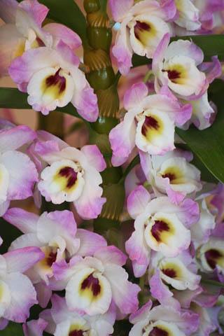 新成人にランの花を。野鳥ツグミ_f0030085_20331794.jpg