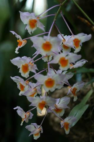 新成人にランの花を。野鳥ツグミ_f0030085_20333177.jpg