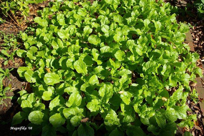 庭の贈物: 小さな野菜畑 gift from my garden: Vegetable garden_e0140365_214167.jpg