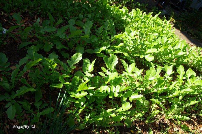 庭の贈物: 小さな野菜畑 gift from my garden: Vegetable garden_e0140365_2142965.jpg