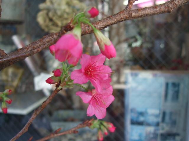 オークリーフ(寒緋桜とイブパッション)_f0049672_10411376.jpg