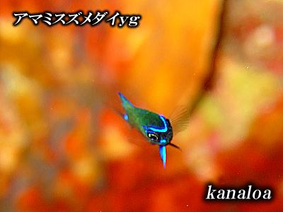 Divehouse Kanaloa  八丈島 ダイビングログ_b0189640_221062.jpg