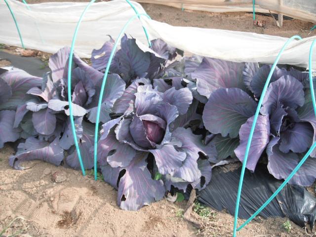 紫キャベツ・・ブロッコリー、カルフラワー 、菜の花、レタス等_c0222448_13151615.jpg